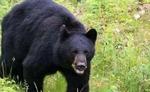 माउंटआबू में भालूओं के हमले से भय का माहौल