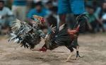 मुर्गों की लड़ाई में मुर्गे ने अपने ही मालिक की कर दी हत्या, हत्यारा मुर्गा गिरफ्तार