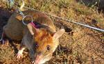 दुनिया का एक देश ऐसा जहां चूहा पालने के लिए भी सरकारी इजाजत जरूरी