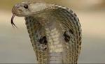 लड़की के गले पर 2 घंटे तक कसकर लिपटा रहा कोबरा, जाते-जाते कीया से काम...